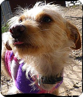 Brussels Griffon/Cairn Terrier Mix Dog for adoption in Austin, Texas - Honey