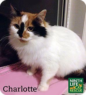 Domestic Mediumhair Cat for adoption in Oakville, Ontario - Charlotte