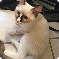 Adopt A Pet :: Opal - Fountain Hills, AZ