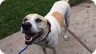 Treeing Walker Coonhound Mix Dog for adoption in Friendswood, Texas - Lucky