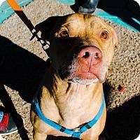 Adopt A Pet :: Bullet - Odessa, TX