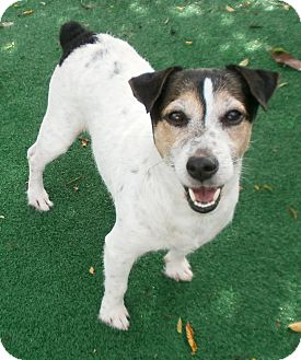 Jack Russell Terrier Dog for adoption in Umatilla, Florida - Kessler