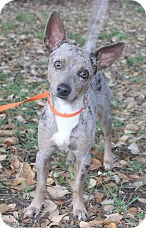 Blue Heeler/Chihuahua Mix Dog for adoption in Monroeville, Pennsylvania - GRAYSON