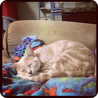 Domestic Shorthair Cat for adoption in Huntsville, Alabama - Google