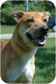 German Shepherd Dog Mix Dog for adoption in Walker, Michigan - Kayla