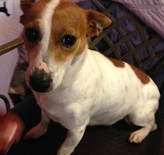 Jack Russell Terrier/Parson Russell Terrier Mix Dog for adoption in Trenton, New Jersey - Evee