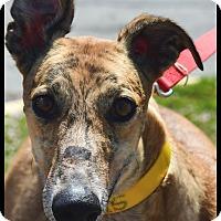 Adopt A Pet :: KB's Gumballs - North Port, FL