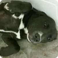 Adopt A Pet :: Missi - Paducah, KY