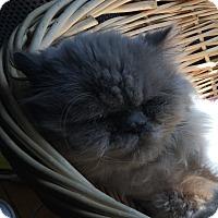 Adopt A Pet :: Silver - Toronto, ON