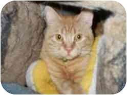 Domestic Shorthair Cat for adoption in Pasadena, California - Gouda