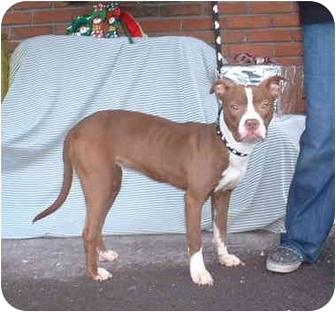 Pit Bull Terrier/Boxer Mix Dog for adoption in Honesdale, Pennsylvania - Star