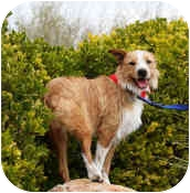 Australian Shepherd/Terrier (Unknown Type, Medium) Mix Dog for adoption in Mesa, Arizona - Ranger