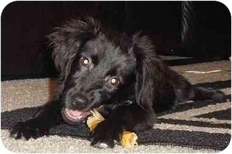 Labrador Retriever Mix Puppy for adoption in Evergreen, Colorado - Safari