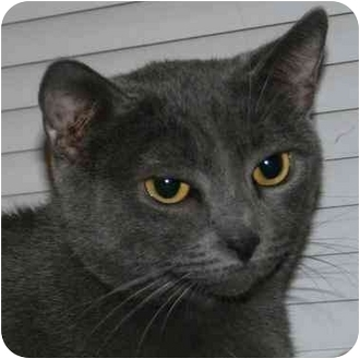 Domestic Shorthair Cat for adoption in Dale City, Virginia - Natalia