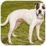 Photo 3 - Pointer/Boxer Mix Dog for adoption in Marina del Rey, California - Benny