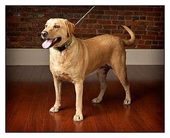 Labrador Retriever Dog for adoption in Owensboro, Kentucky - Sandy