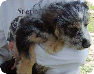 Schnauzer (Standard)/Terrier (Unknown Type, Medium) Mix Puppy for adoption in Edon, Ohio - Emmylou