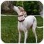 Photo 3 - Italian Greyhound Dog for adoption in Costa Mesa, California - Benito - OC