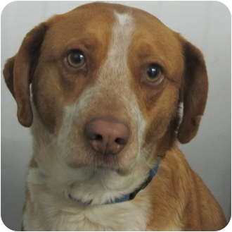Beagle Mix Dog for adoption in Marseilles, Illinois - Lucky