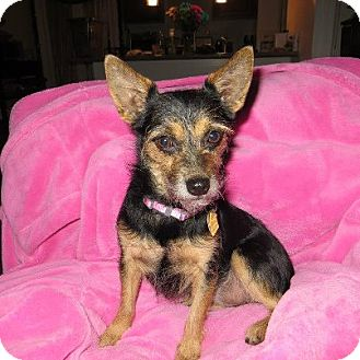 Yorkie, Yorkshire Terrier/Chihuahua Mix Dog for adoption in New Milford, Connecticut - Deanna