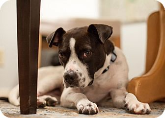 Boston Terrier/Dalmatian Mix Dog for adoption in Austin, Texas - Princess Broccoli