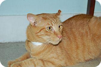 Domestic Longhair Cat for adoption in Bradenton, Florida - Tater Tot