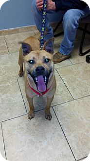 Boxer/Pit Bull Terrier Mix Dog for adoption in Burlington, New Jersey - Carlon