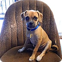 Adopt A Pet :: Pugsley - Colorado Springs, CO