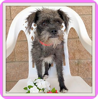 Terrier (Unknown Type, Small)/Poodle (Miniature) Mix Dog for adoption in Glendale, Arizona - Aurora