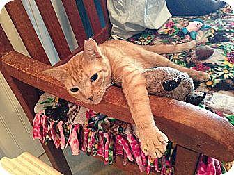 Domestic Shorthair Cat for adoption in Deerfield Beach, Florida - Ellie