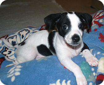 Dachshund/Terrier (Unknown Type, Small) Mix Puppy for adoption in Chattanooga, Tennessee - Hansel