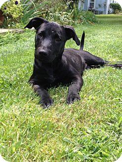 Labrador Retriever Mix Puppy for adoption in Rochester/Buffalo, New York - Jane