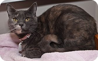 Domestic Shorthair Cat for adoption in Oakland, California - Sally