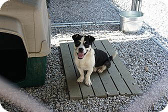 Pekingese/Corgi Mix Dog for adoption in Henderson, North Carolina - Buck