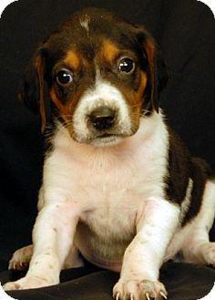 Hound (Unknown Type) Mix Puppy for adoption in Newland, North Carolina - Sardine