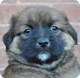 Labrador Retriever/Spaniel (Unknown Type) Mix Puppy for adoption in Atlanta, Georgia - Nutella