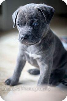 Labrador Retriever/American Bulldog Mix Puppy for adoption in Miami, Florida - Hunt