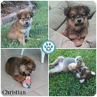Havanese Mix Puppy for adoption in Kimberton, Pennsylvania - Christian