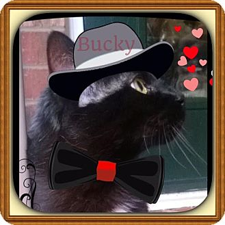 Domestic Shorthair Cat for adoption in Harrisburg, North Carolina - Bucky