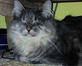 Domestic Longhair Cat for adoption in Windsor, Connecticut - Shiver aka Mitts - Special Needs