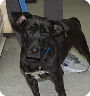 Shepherd (Unknown Type) Mix Dog for adoption in Brooklyn, New York - Bruno