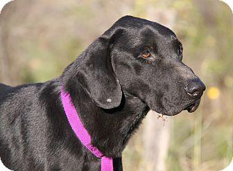 Labrador Retriever Mix Dog for adoption in Marietta, Ohio - Joey