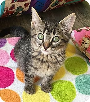 Domestic Shorthair Kitten for adoption in Tampa, Florida - Chasco