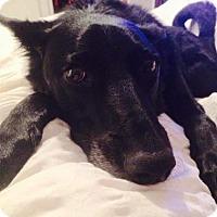 Labrador Retriever Mix Dog for adoption in Blackstock, Ontario - Bruce Wayne