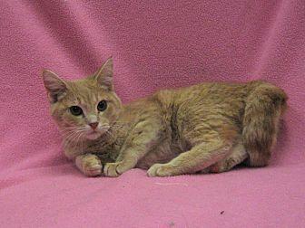 Domestic Shorthair Cat for adoption in Redwood Falls, Minnesota - Kenna