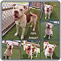Adopt A Pet :: JACK - San Antonio, TX