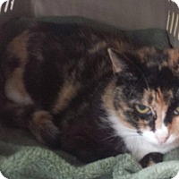 Domestic Shorthair Cat for adoption in Freeport, New York - Paprika (Patches)
