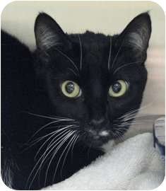 Domestic Shorthair Cat for adoption in Norwalk, Connecticut - Bandy