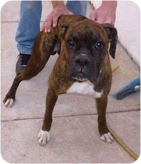 Boxer Dog for adoption in Scottsdale, Arizona - Drake