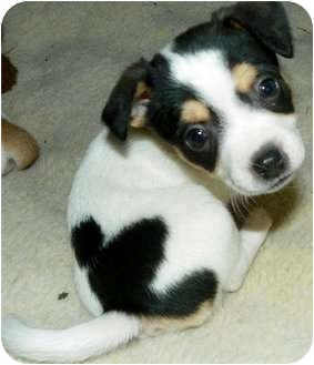 Rat Terrier Mix Dog for adoption in Greenville, Wisconsin - Ginger